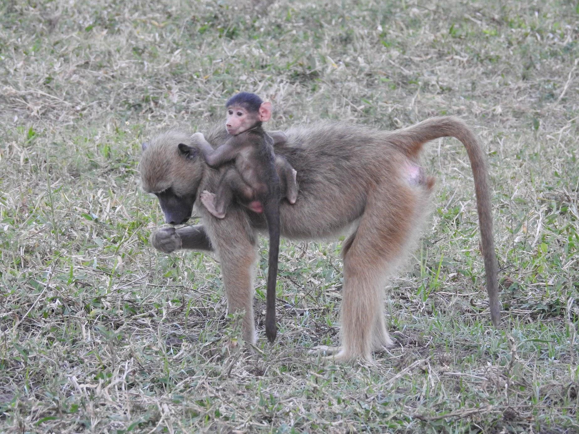 Paleo-Primate Project, Gorongosa - Baboon, season 2018. Photo by René Bobe