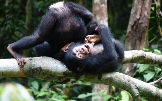 Chimpanzee play, photo by Alex Mielke