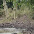 Baboons and vervets around a water pan, Gorongosa National Park, 2018