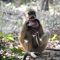 Juvenile baboon eating bushbuck meat after a kill by an adult male