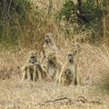 The Baboons of the Urema Rift, in Gorongosa National Park, Mozambique