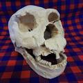 Homo heidelbergensis Skull Atapuerca 5