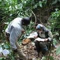 Measuring chimpanzee stone tools in the forest of Bossou.