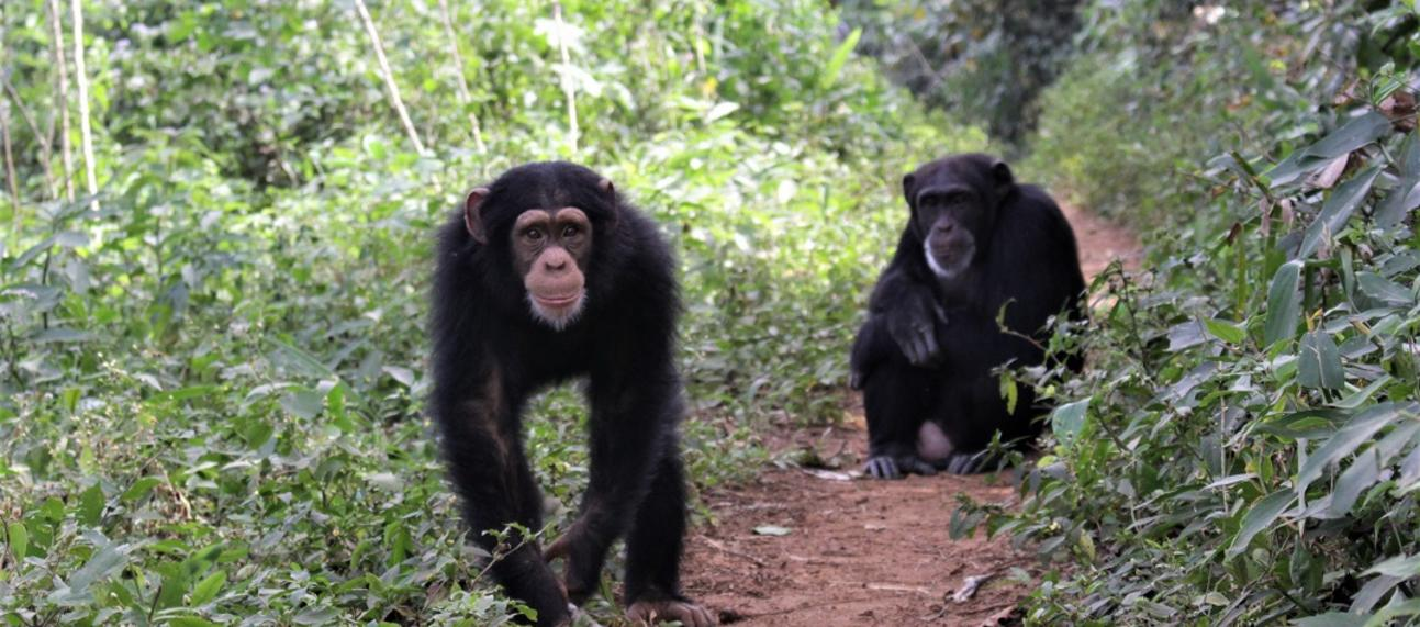 Two chimpanzees in the Bossou forest, photographed in 2018