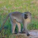 Adult male vervet monkey, Sorriso, in Gorongosa National Park, Mozambique (photo by Megan Beardmore-Herd)