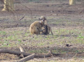 Two adult baboons wearing GPS collars and grooming each other on the floodplains of Gorongosa National Park, Mozambique (photo by Lynn Lewis-Bevan)