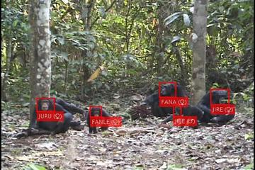 Chimpanzee face detections and recognition extracted from raw video correctly identifying the chimpanzees Juru, Fanle, Fana, Jeje, and Jire as shown by red boxes around their faces and name's labels