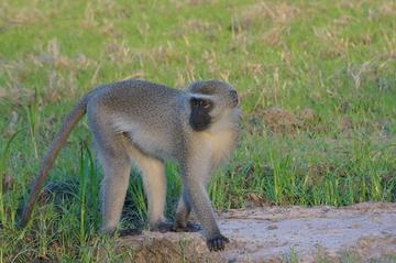 Adult male vervet monkey, Sorriso, in Gorongosa National Park, Mozambique (photo by Megan Beardmore-Herd)