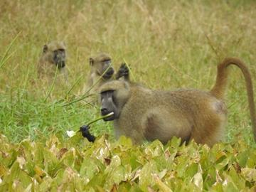 Three baboons forgaing on plants in Gorongosa National Park, Mozambique (photo by Philippa Hammond)