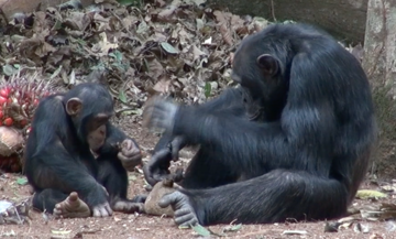 An adult chimpanzee using an anvil and hammer to crack open a nut, watched closely by a juvenile chimpanzee at Bossou, Guinea (photo by Susana Carvalho)