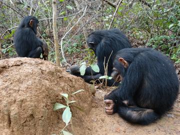 Chimpanzees using plant tools to fish for termites at Gombe Stream National Park, Tanzania (photo credit: Alejandra Pascual-Garrido)
