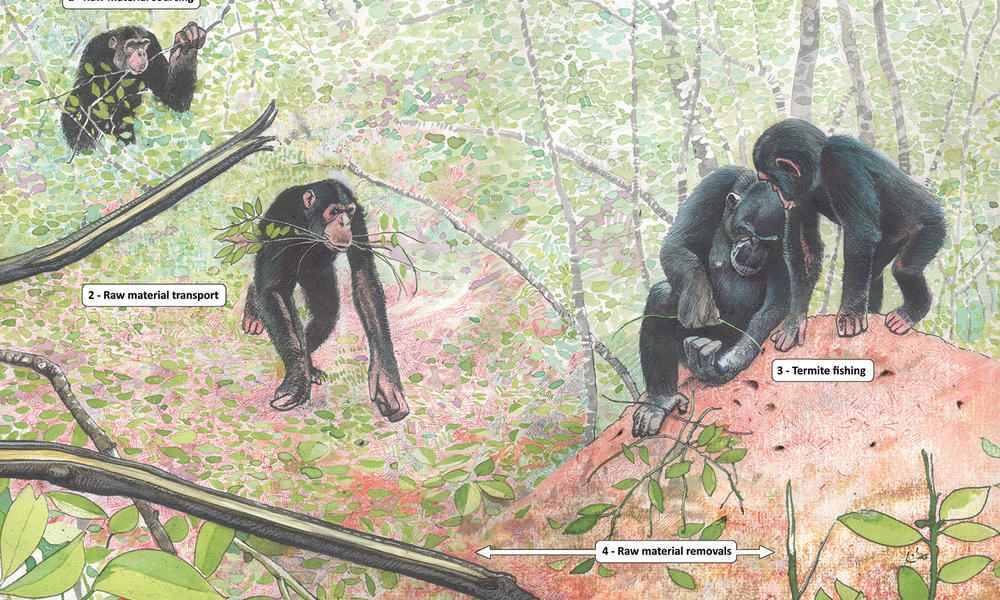 Illustration of raw material sourcing for termite-fishing tools by wild chimpanzees, created by Luis da Silva, published in Pascual-Garrido & Almeida-Warren (2021)