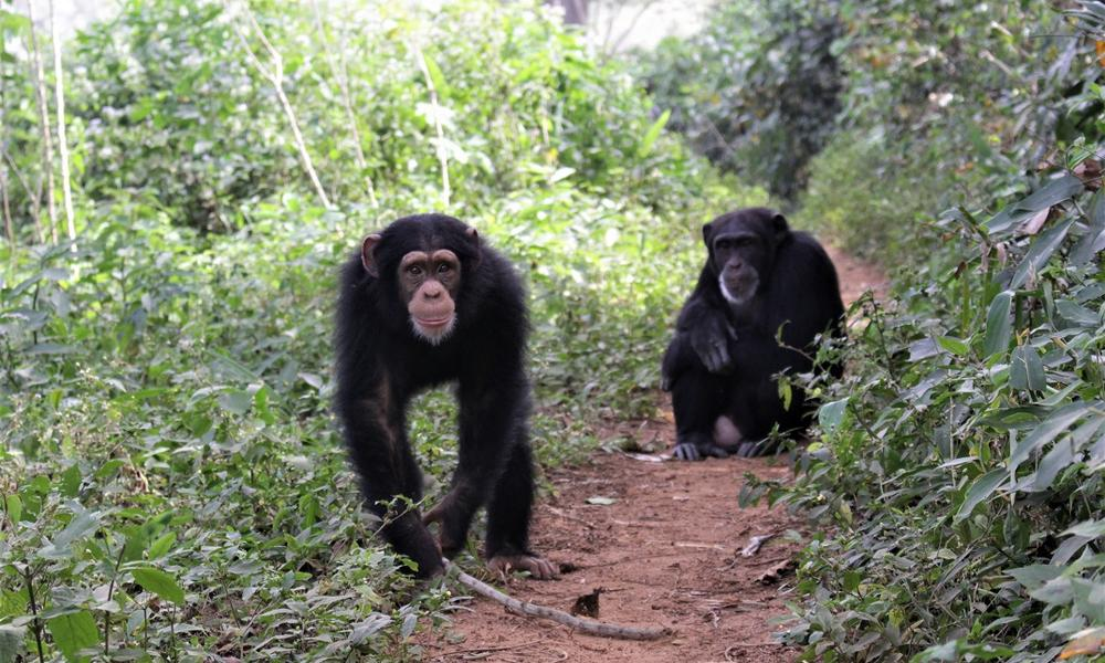 Bossou chimpanzees in 2018 - Oxford, ICEA, Anthropology.