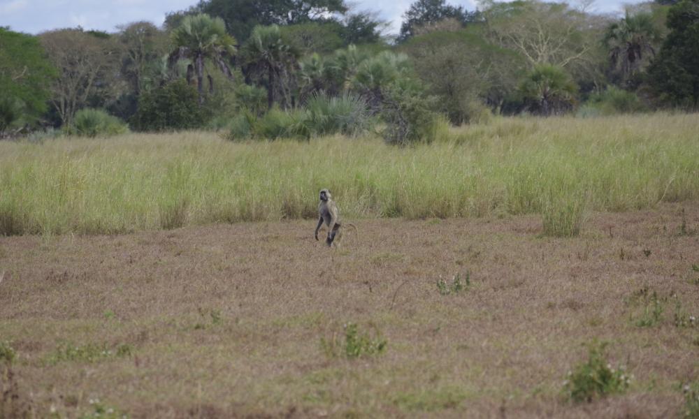 Baboon standing bipedally, Gorongosa National Park, 2018