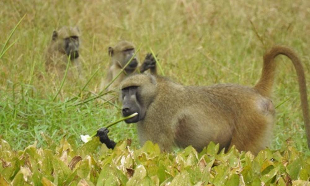 Adult male Baboon from the woodland troop eating water lilies