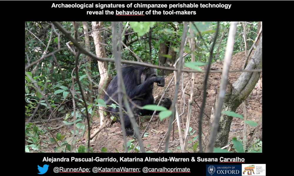 ESHE September 2020 - Archaeological signatures of chimpanzee perishable technology reveal the behaviour of the tool-makers