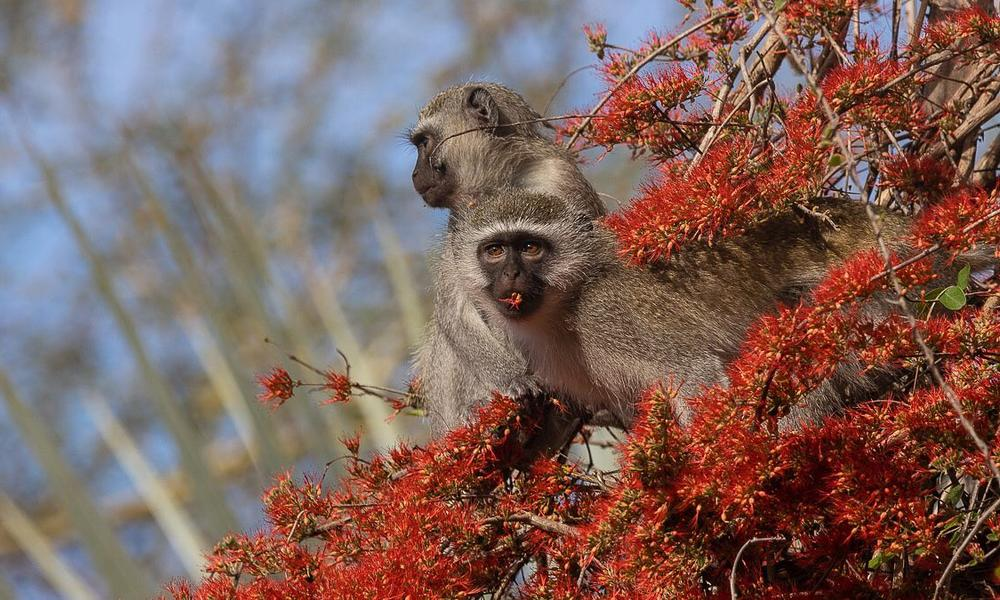 Vervet Monkeys feeding on the flowers of the Flame Creeper (Combretum microphyllum) in Gorongosa National Park - photograph by Lee Bennett