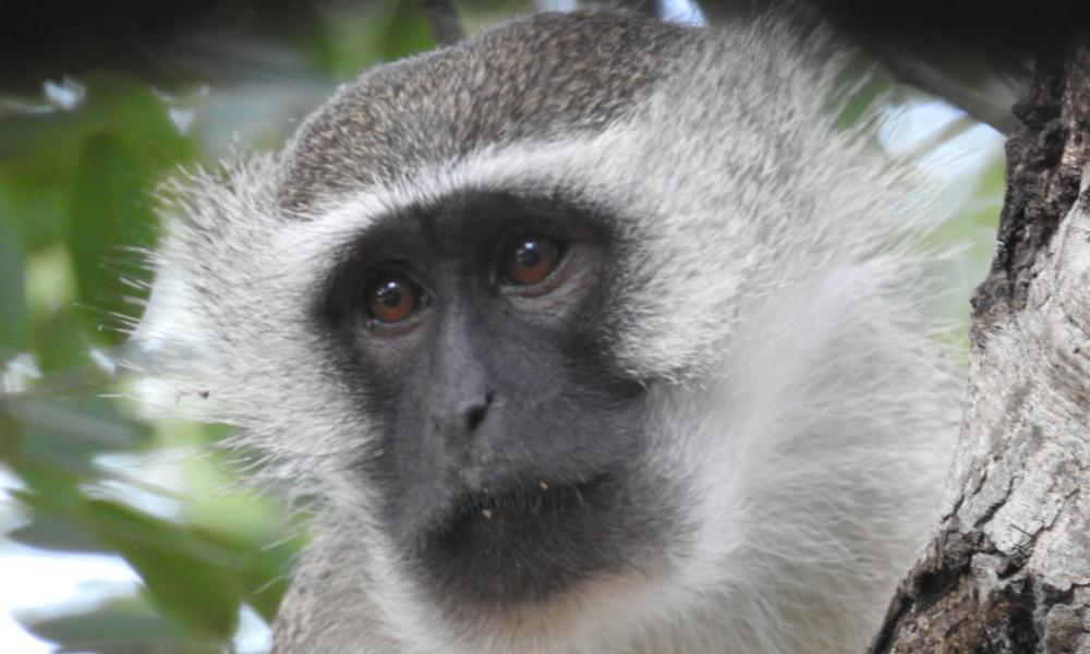 Vervet monkey (Chlorocebus pygerythrus). Gorongosa National Park, Mozambique.