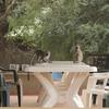 Two vervet monkeys sat atop a table in the canteen area of Gorongosa National Park's Chitengo Camp, Mozambique
