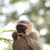 A close-up of a vervet monkey eating a scrap of food held between two hands